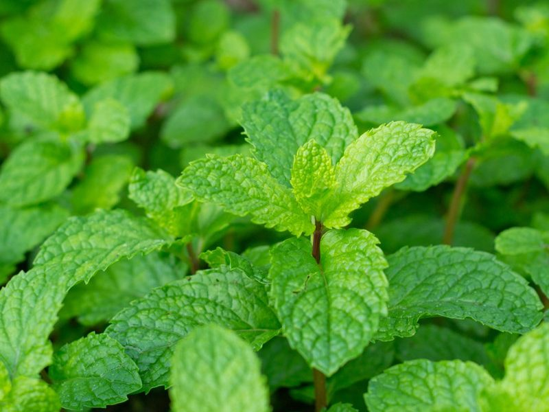 Peppermint whole leaves